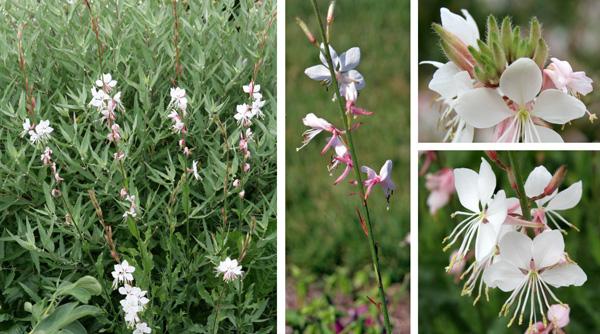Gaura gaura lindheimeri master gardener program gaura flowers along the flower spikes l and c with buds top mightylinksfo