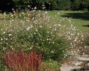 Gaura gaura lindheimeri master gardener program gaura lindheimeri is an airy addition to the garden mightylinksfo