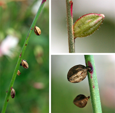 Flowers are followed by angular fruits.