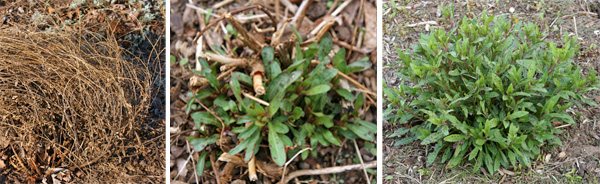 Once the dead overwintered stems (L) are removed new foliage emerges (C) to form a basal clump of leaves (R).