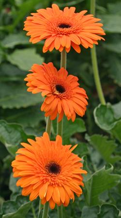 Healthy orange gerbera daisies.