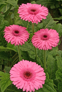 A healthy gerbera with pink flowers.
