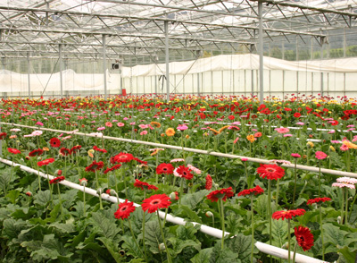 A greenhouse full of gerbera daisies for cut flowers.