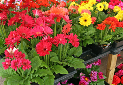 Gerbera daisies for sale as annuals.