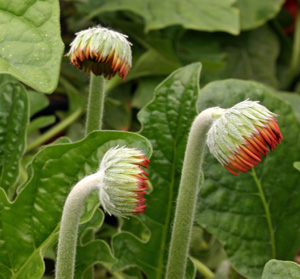 Flower buds shortly before opening.