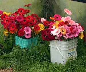 Gerbera daisies for sale as cut flowers.