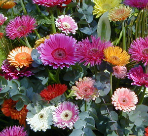 Gerbera flowers come in many forms.