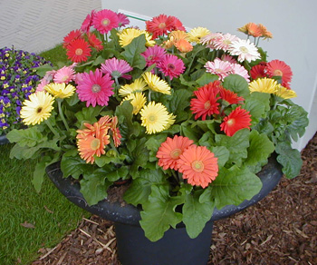 Gerbera daisies in many colors.