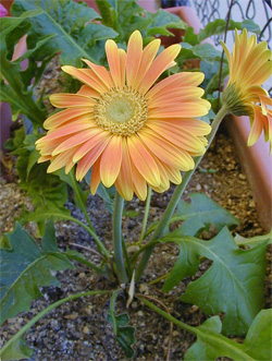 Gerberas are easily grown in containers.
