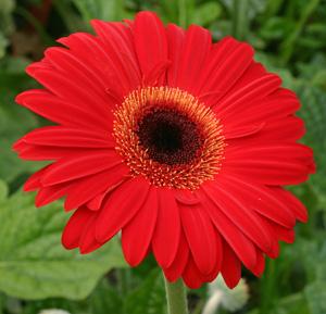 A scarlet-flowered gerbera.