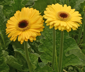 Gerbera with yellow flowers.