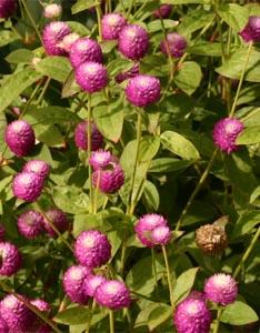 Globe amaranth flowers.