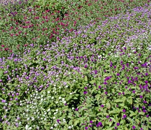There are many cultivars of gomphrena in a variety of colors.
