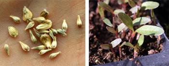 Seeds and seedlings of Gomphrena globosa.