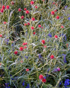 Red globe amaranth growing with blue flowers.