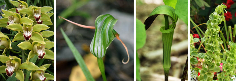 Naturally green flowers of Cymbidium orchid (L), Pterosytlis orchid (LC), Arisaema triphyllum (RC) and Bells of Ireland (R).