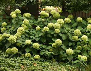 Hydrangea flowers often have a greenish cast.