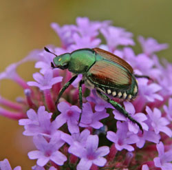 A Japanese beetle attractive, but a major pest.