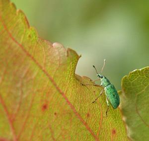 A green leaf weevil crawls up a crabapple leaf.