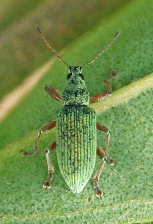 Immigrant green leaf weevil, Polydrusus sericeus.