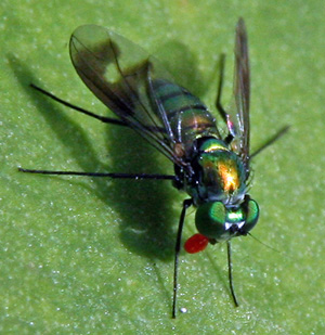 This dolichopodid fly has patterned wings.
