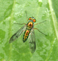 This dolichopodid fly appears copper and red in color.