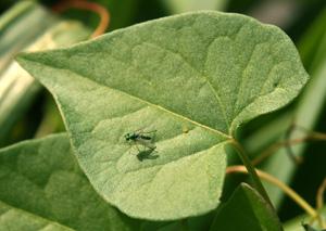 A dolichopodid fly sitting on a bean leaf.