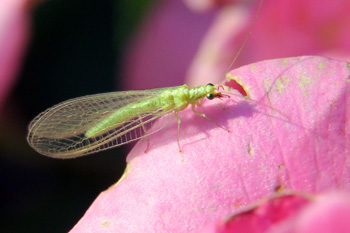 An adult green lacewing on a rose flower.