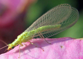 An adult green lacewing, close-up.