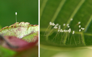 Lacewing eggs are laid on long stalks on foliage.