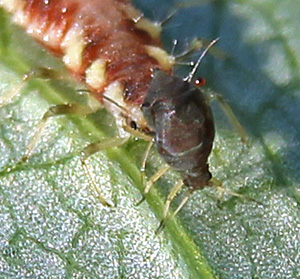 Green lacewing larvae devour aphids and other small, soft-bodied insects.