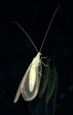 Green lacewing adults are often attracted to lights at night.