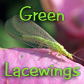 Green Lacewings Title Image