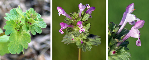 Henbit has axillary infloresences in the leaf whorls (L) and produces clusters (C) of typical mint family-type flowers with a colorful tubular corolla (R).