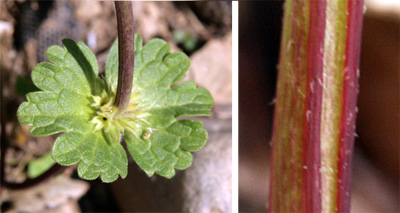 Henbit whorls of has rounded, lobed leaves clasping (L) the slightly hairy stem (R).