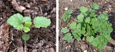 Seedling (L) and young plant of Lamium amplexicaule.