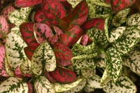 There are many varieties of Hypoestes in a range of colors.