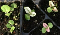 The cotyledons of Hypoestes seedlings are green, but the first set of true leaves shows color.