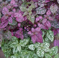 Polka dot plant offers interesting foliage.