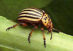 Large insects, such as this Colorado potato beetle, can be hand-picked from plants. Photo by USDA-ARS.