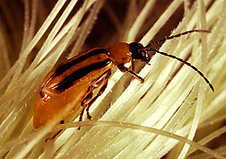 A western corn rootworm, an insect that can be controlled by crop rotation. Photo by USDA-ARS.