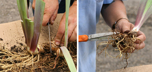 Use a clean knife or shears to cut the rhizomes apart. Then trim any dead or damaged roots.