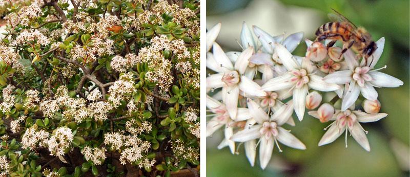 Jade plant crassula ovata master gardener program jade plant produces clusters of small white or pink star shaped flowers mightylinksfo Choice Image