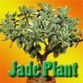 Jade Plant, Crassula ovata Title Image