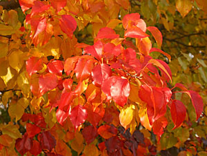 Leaves change color as photoperiod decreases and green cholorophyll is lost.
