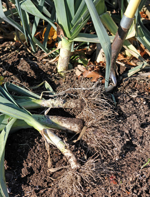 Dig leeks to harvest any time after they are an inch or more in diameter.