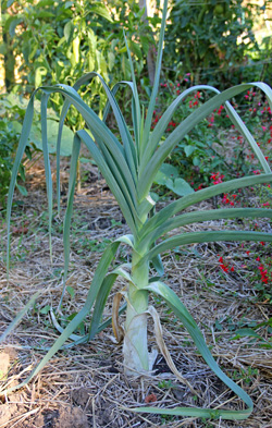 Leeks have long, strap-like leaves and many develop a roundish bulb.