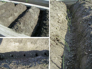 Planting leeks in the bottom of a trench makes it easy to gradually add soil as they grow to blanch the stems.