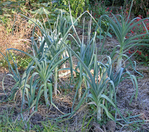 Leeks can remain in the ground as long as it is not frozen.