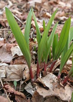 Wild leek, Allium tricoccum